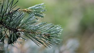 White pine used in new active ingredient